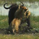 LastLions fileniko 3 150x150 - دانلود مستند The Last Lions 2011 آخرین شیرها دوبله فارسی + زبان اصلی با کیفیت Full HD