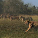 LastLions fileniko 4 150x150 - دانلود مستند The Last Lions 2011 آخرین شیرها دوبله فارسی + زبان اصلی با کیفیت Full HD