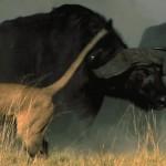 LastLions fileniko 5 150x150 - دانلود مستند The Last Lions 2011 آخرین شیرها دوبله فارسی + زبان اصلی با کیفیت Full HD