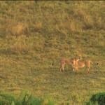 LastLions fileniko 6 150x150 - دانلود مستند The Last Lions 2011 آخرین شیرها دوبله فارسی + زبان اصلی با کیفیت Full HD