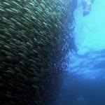IMAX.Wild .Ocean .1080p.BluRay.www .fileniko.com .mkv snapshot 12.34 2016.06.06 14.17.44 150x150 - دانلود مستند اقیانوس وحشی IMAX Wild Ocean 2008 با کیفیت 1080p