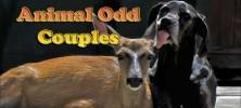 animalodd.cover  222x100 - دانلود مستند PBS - Nature: Animal Odd Couples 2012 زوج های شگفت انگیز حیوانات