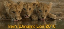 India 222x100 - دانلود مستند India's Wandering Lions 2016